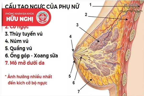 Hình ảnh cấu tạo ngực của nữ giới